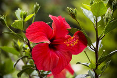 Beautiful red hibiscus  flower in a green garden Stock Photos