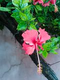 Beautiful red hibiscus flower hanging from plant. Royalty Free Stock Images