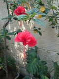 Beautiful red hibiscus flower. A beautiful red hibiscus flower in home garden Stock Images