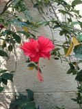 Beautiful red hibiscus flower. A beautiful red hibiscus flower in home garden Stock Photos