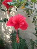 Beautiful red hibiscus flower. A beautiful red hibiscus flower in home garden Royalty Free Stock Images