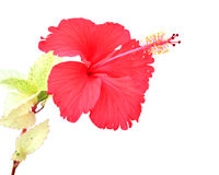 Beautiful red Hibiscus flower Royalty Free Stock Photo