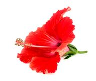 Beautiful red hibiscus flower isolated on white Royalty Free Stock Photos