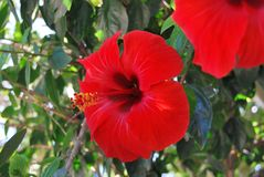 Beautiful red hibiscus flower, outdoors royalty free stock photos