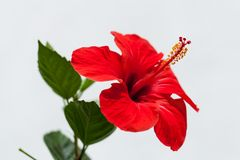 Beautiful red hibiscus flower in summer outdoor Royalty Free Stock Photos