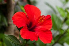 Beautiful red hibiscus flower in summer outdoor Royalty Free Stock Photo