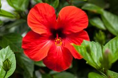 Beautiful red hibiscus flower in summer outdoor Stock Photography