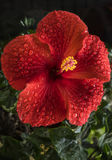 A beautiful red hibiscus flower. What a magnificent hibiscus flower of a brilliant red with all its drops of water and green foliage Stock Photos