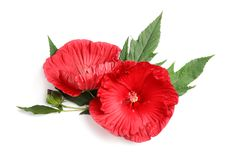 Free Beautiful Red Hibiscus Flowers Royalty Free Stock Photos - 122877068