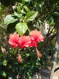 Beautiful red hibiscus flowers. A couple of red hibiscus flowers Royalty Free Stock Photo