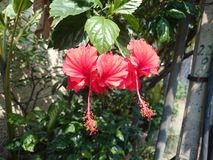 Beautiful red hibiscus flowers. Two beautiful red hibiscus flowers Royalty Free Stock Images
