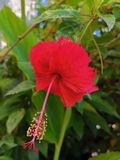 Beautiful red Hibiscus in my garden under the hot sun royalty free stock images
