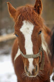 Beautiful red horse Royalty Free Stock Images