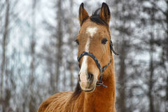 Beautiful red horse Royalty Free Stock Photo