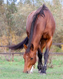 A beautiful red horse in the autumn Stock Images