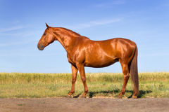 Beautiful red horse exterior Stock Images