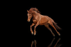 Beautiful red horse galloping in a phase jump developing mane. Stock Image