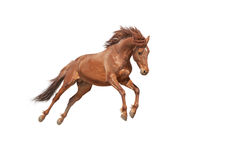 Beautiful red horse galloping in a phase jump developing mane. Royalty Free Stock Images