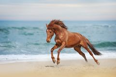Beautiful red horse galloping on the sea beach. Beautiful red horse galloping in a phase jump developing mane on solar background refreshing sea royalty free stock photo