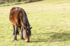 Beautiful brown horse with a long black mane in the spring field stock images