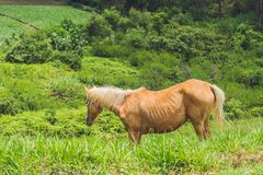 Beautiful red horse with long blond mane in spring field with yellow flowers Stock Photography