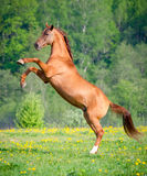Beautiful red horse rearing up at sunset in summer. Beautiful red horse rearing up on green grass at sunset in summer Stock Images