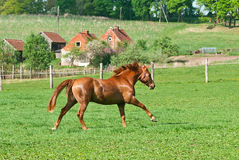 The beautiful red horse Stock Photos
