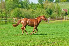 The beautiful red horse Royalty Free Stock Photos
