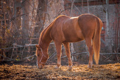 Beautiful red horse in the walking open-air cage, nice sunny day. Horse walks on a pasture. Horse eating a hay at ranch summertime Royalty Free Stock Image