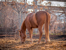 Beautiful red horse in the walking open-air cage, nice sunny day. Horse walks on a pasture. Horse eating a hay at ranch summertime Stock Image
