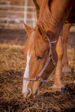 Beautiful red horse in the walking open-air cage, nice sunny day. Horse walks on a pasture. Horse eating a hay at ranch summertime Royalty Free Stock Photography