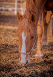 Beautiful red horse in the walking open-air cage, nice sunny day. Horse walks on a pasture. Horse eating a hay at ranch summertime Royalty Free Stock Photo