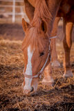 Beautiful red horse in the walking open-air cage, nice sunny day. Horse walks on a pasture. Horse eating a hay at ranch summertime Royalty Free Stock Photos