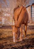 Beautiful red horse in the walking open-air cage, nice sunny day. Horse walks on a pasture. Horse eating a hay at ranch summertime Royalty Free Stock Images
