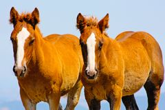 Beautiful red horses taken in Italian mountains Royalty Free Stock Photo