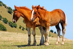 Beautiful red horses taken in Italian mountains Royalty Free Stock Photography