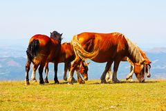 Beautiful red horses taken in Italian mountains Royalty Free Stock Images