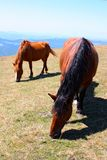 Beautiful red horses taken in Italian mountains Royalty Free Stock Photos