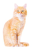 Beautiful red house cat. On a white background stock image