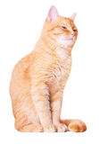 Beautiful red house cat. On a white background Stock Photo