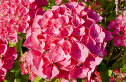 Beautiful red hydrangea in full bloom Royalty Free Stock Photos