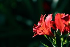 Beautiful Red Inca lily up close stock photography
