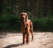 Beautiful red irish setter running fast in forest in sunny summer day Royalty Free Stock Photography