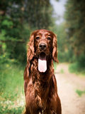Beautiful red irish setter running fast in forest in sunny summer day Stock Photography