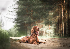 Beautiful red irish setter running fast in forest in sunny summer day Royalty Free Stock Images