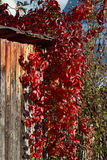 Beautiful red ivy on wall in wooden house in village Stock Image