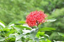 Free Beautiful Red Ixora Flower Stock Image - 16432911