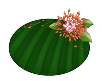 Beautiful Red Ixora Flowers on Banana Leaf Royalty Free Stock Photos