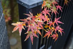 Beautiful Red Japanese maple tree leaves on autumn. Royalty Free Stock Photo