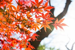 Beautiful Red Japanese maple tree leaves on autumn. Stock Images
